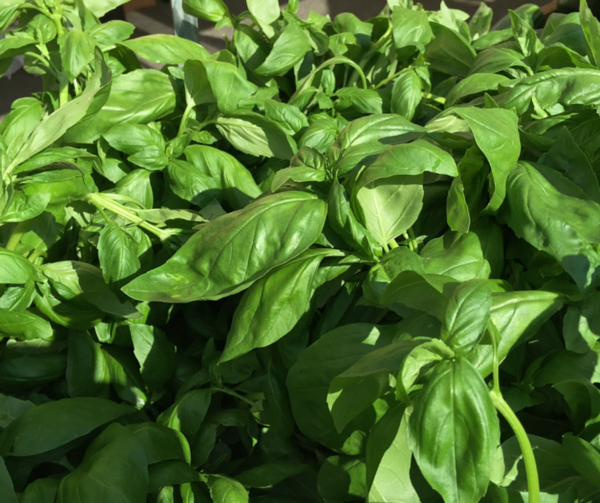 fragrant basil